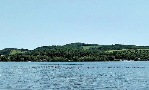 Trout Brook lake view of Canada Geese